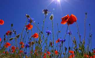 field-of-poppies-sun-spring-nature.jpg
