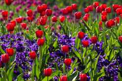 tulips-spring-light-colorful.jpg